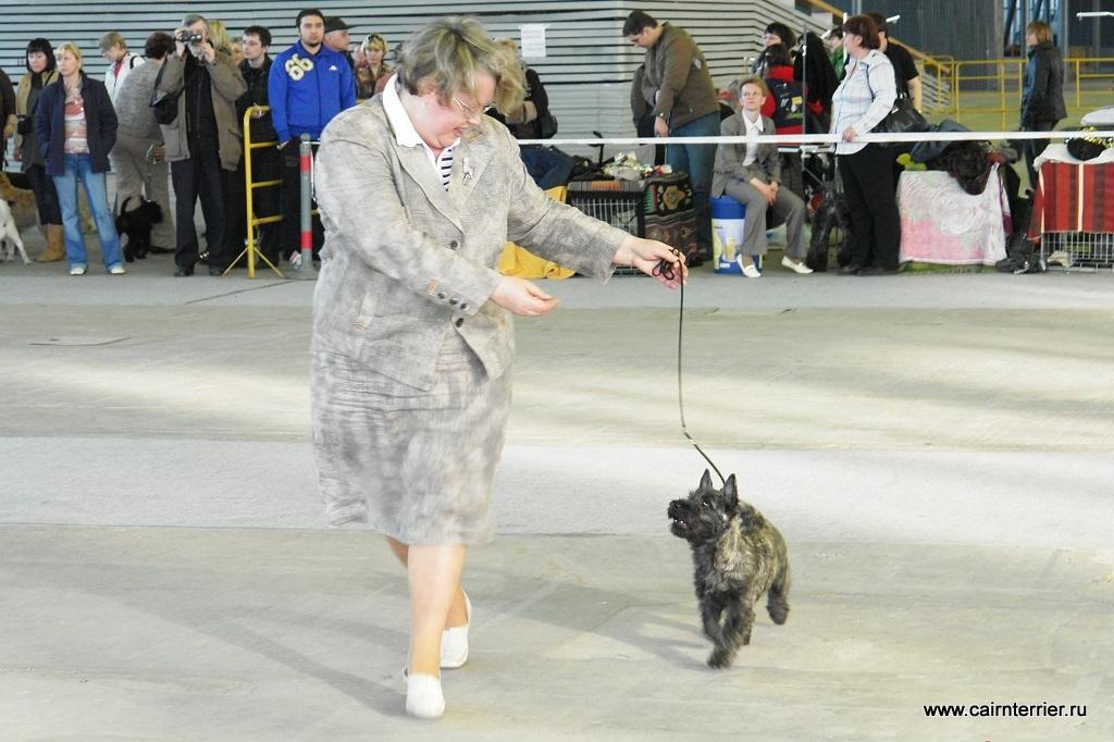 Фото тигрового щенка керн терьера с владельцем питомника Еливс на выставке