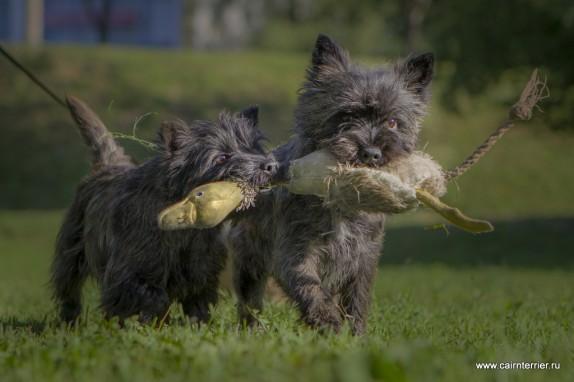 Фото керн терьеров питомника Еливс с игрушкой на прогулке летом