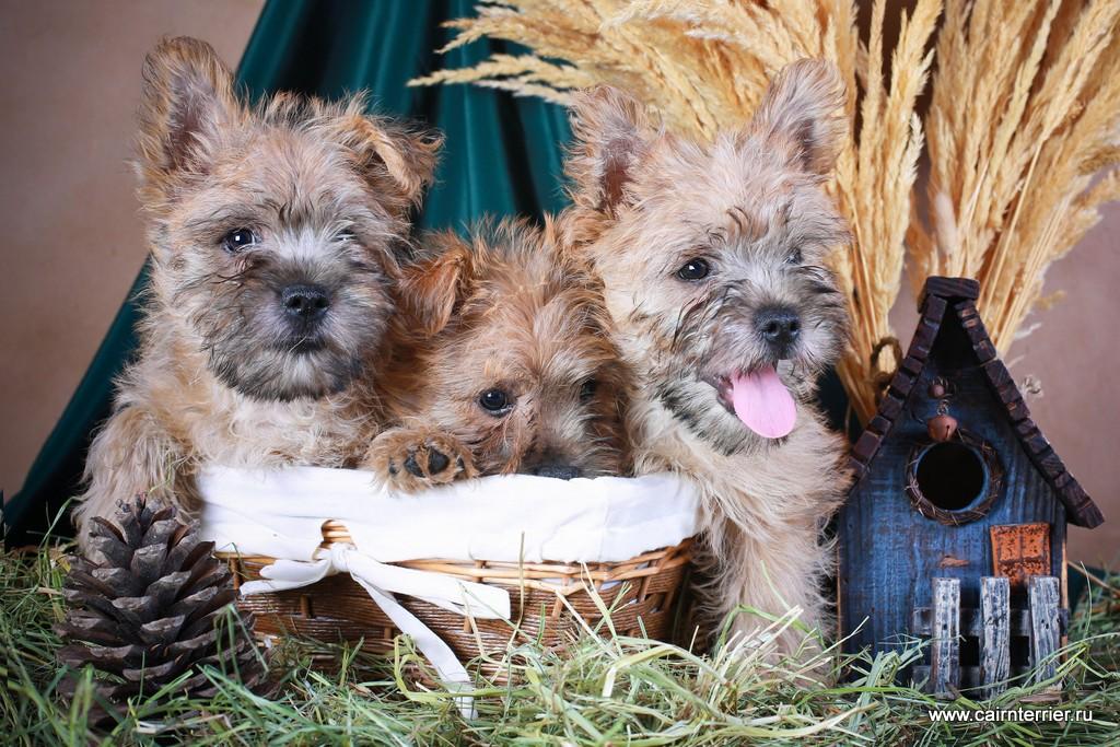 Фото рыжих щенков керн терьера питомника Еливс