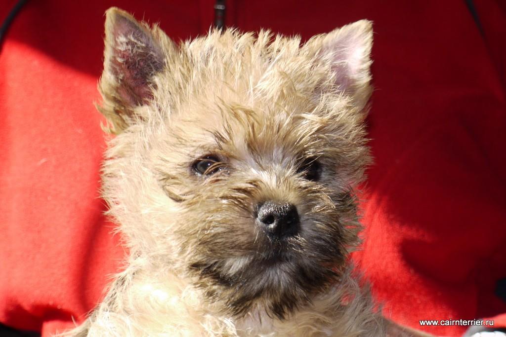 Фото щенка керн терьера, владелец питомник Еливс