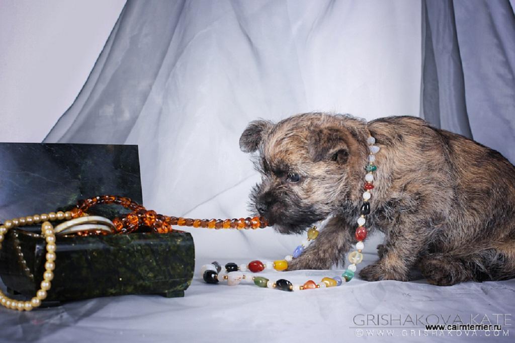 Фотография красивого и породного щенка керн терьера питомника Еливс