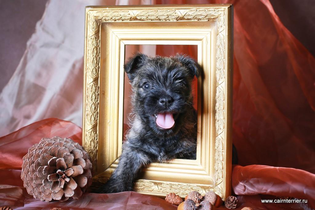 Фото щенка керн терьера питомника Еливс помёта 2012 года