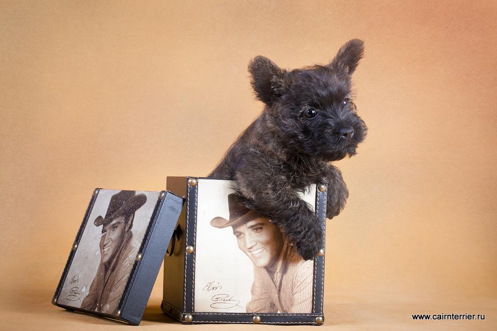 Фото щенка керн терьера питомника Еливс помета 2012 года