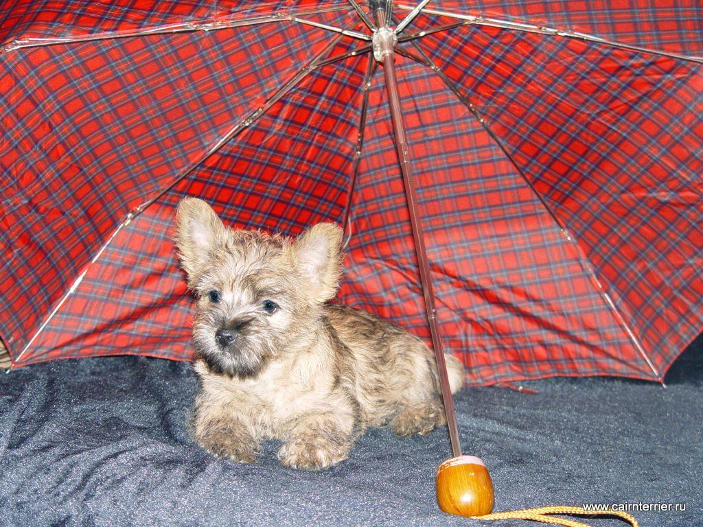 Фото щенка керн терьера Шерри питомника Еливс под зонтиком