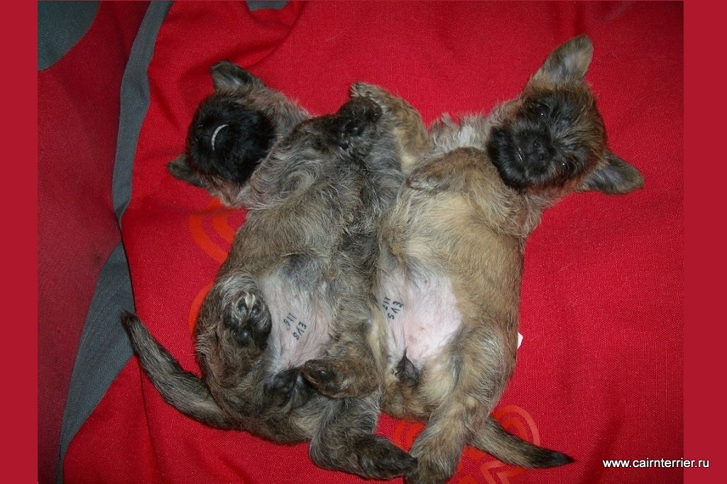 Фото щенков керн терьера питомника Еливс помета 2007 года