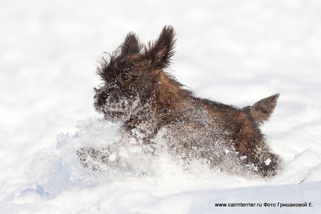 Фото тигрового щенка питомника Еливс бегущего по глубокому снегу на прогулке зимой