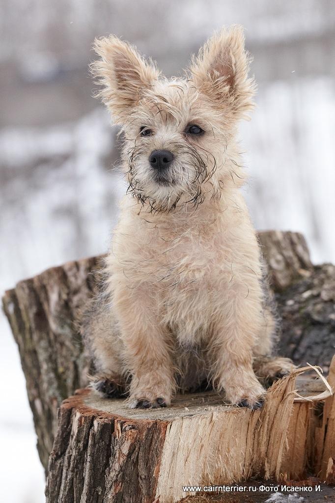 Фото рыжего щенка питомника еливс сидящего на месте во время зимней прогулки