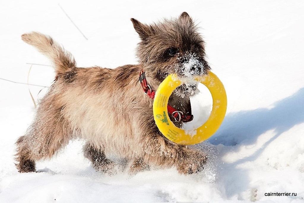 """Фото керн терьера питомника Еливс на прогулке зимой несущего кольцо в зубах хозяину по команде """"апорт""""."""