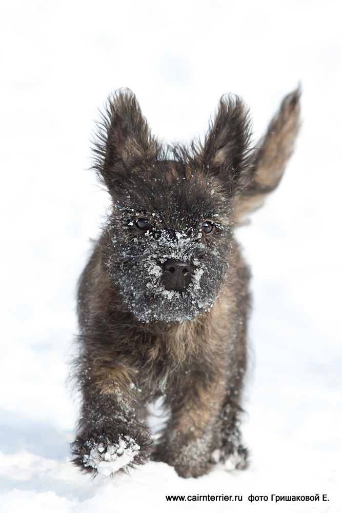 Фото тигрового щенка питомника Еливс на прогулке зимой