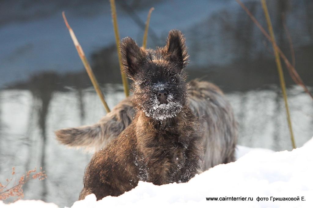 Тигровый щенок керн терьера питомника Еливс стоит на зимней прогулке фото