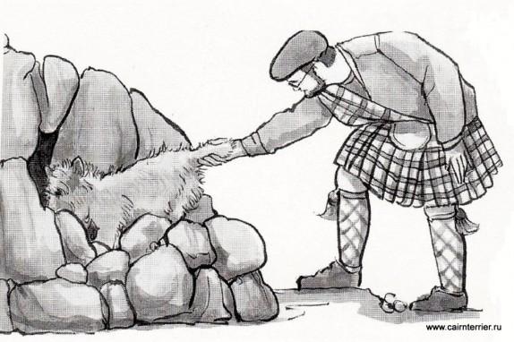 Керн- терьер на охоте в Шотландии.