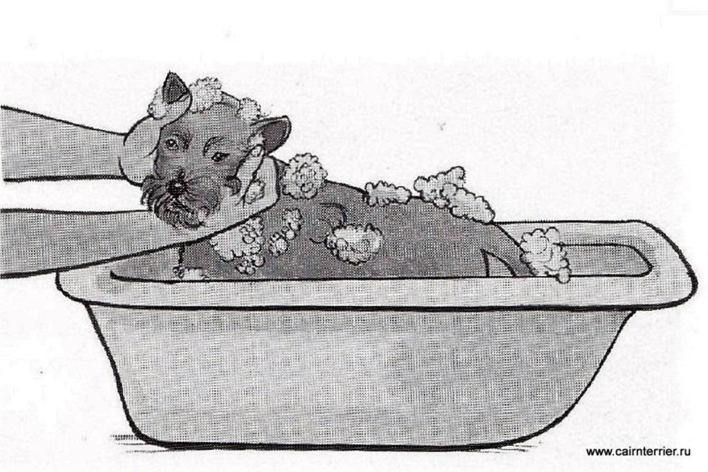 Рисунок щенка керн терьера во время мытья в ванной