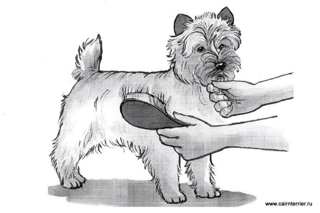 Рисунок щенка керн терьера во время расчёсывания щеткой