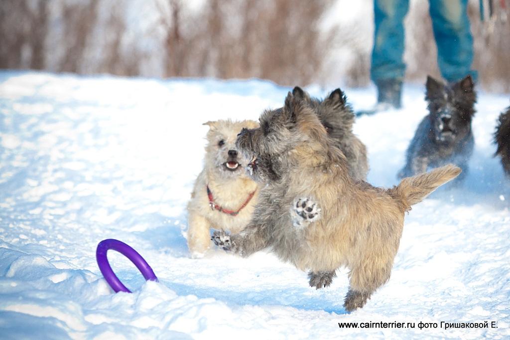 Фото керн терьеров на прогулке зимой играющих с кольцом по команде апорт