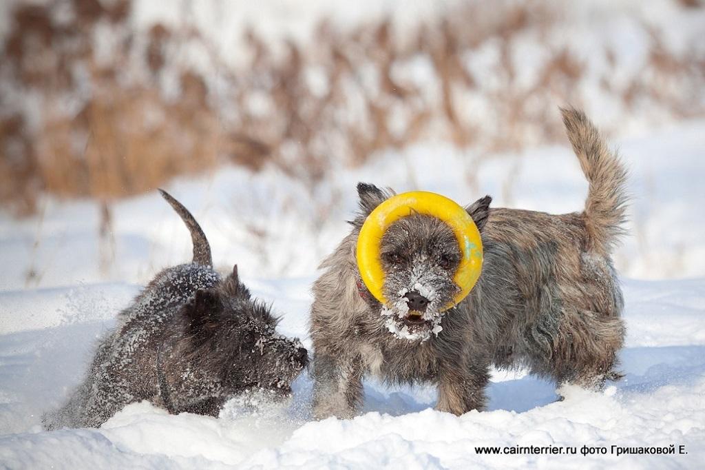 Керн-терьер и тигровый щенок из дома Еливс на прогулке зимой играют в кольцо