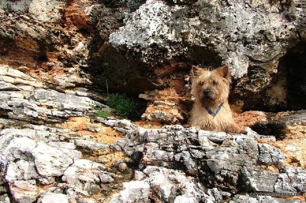 Cairn Terrier Yanosh
