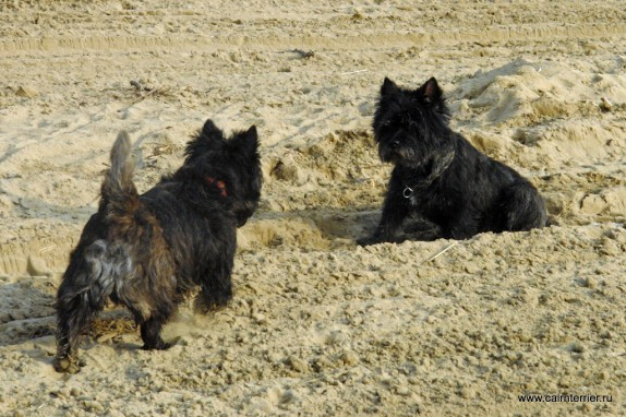 Cairn Terrier Elivs home and Gosha (10)