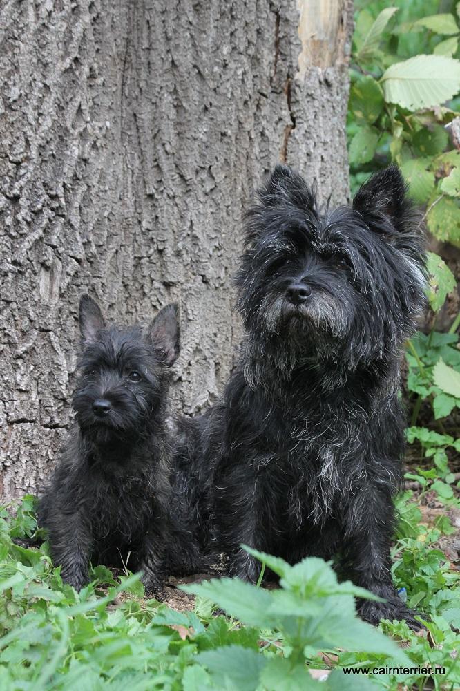 Фото щенка и керн терьера в лесу.
