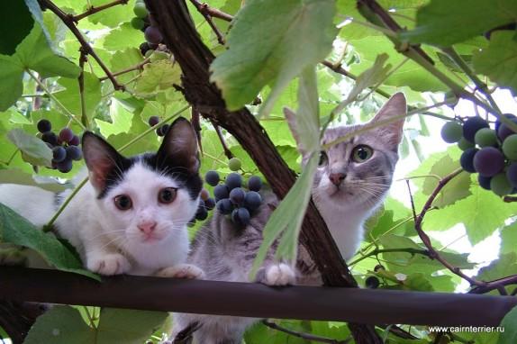 Фото две кошки в виноградной лозе на фоне виноградных листьев и винограда
