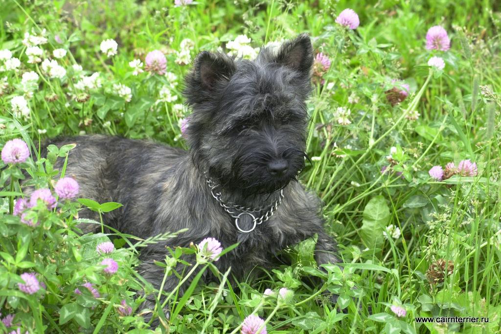 Фото прогулка с керн терьером Экси, которая лежит в траве с цветами