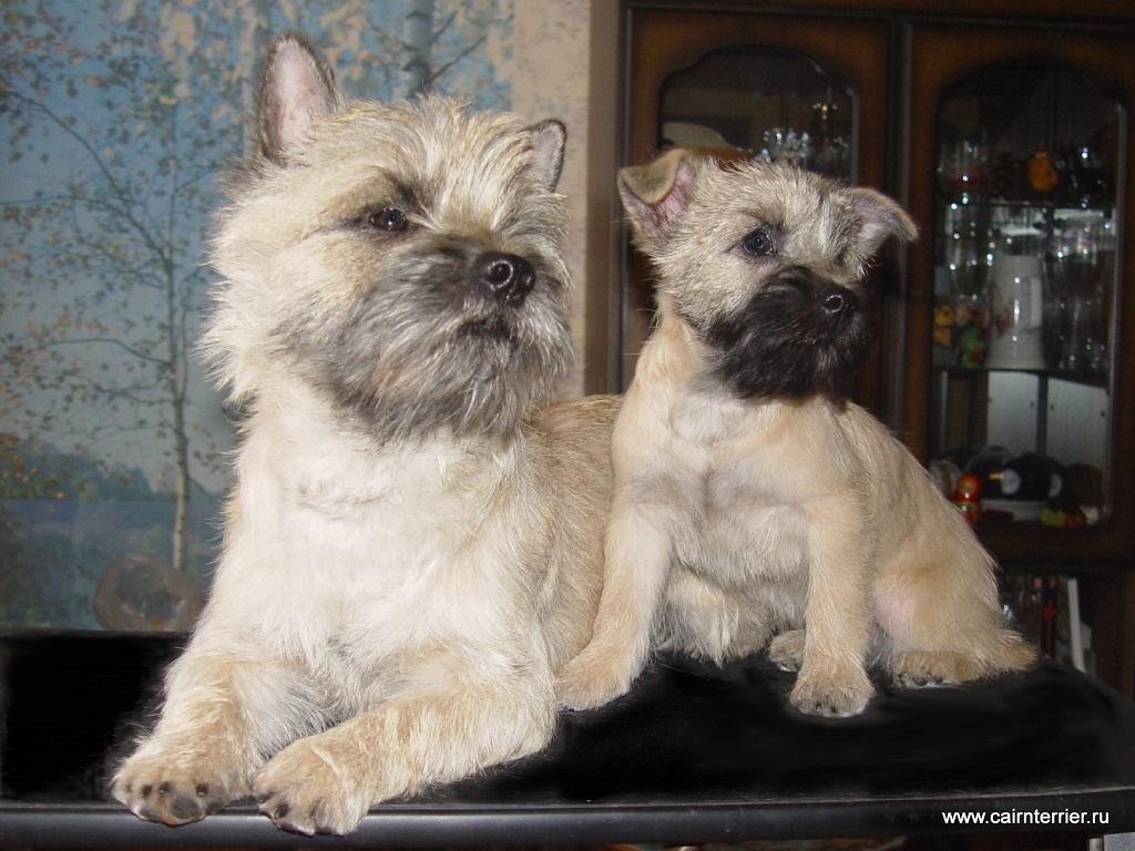 Фото Керн терьера Чиж и щенка питомника Еливс