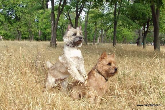 Фото керн терьеров Чиж и Янош питомника Еливс на прогулке в парке