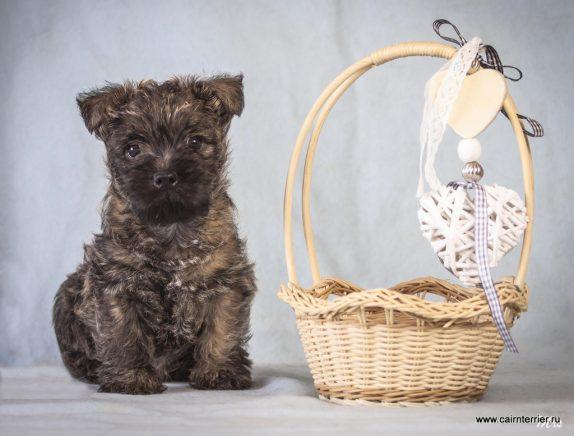 Фото тигрового щенка керн терьера питомника Еливс