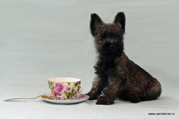 Фото тигрового щенка керн терьера из дома Еливс помет Ю сука
