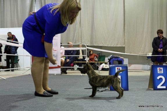 Cairn Terrier El'vit Angeya Iz Domz Eliv's