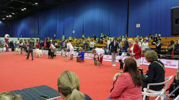 Международная выставка в Нижнем Новгороде керн терьер Пунш на конкурсе Юниоров Best in Show.
