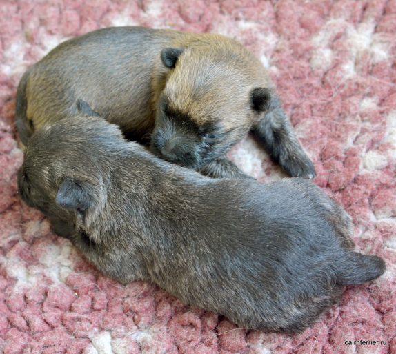 Фото маленьких щенков рыжая и тигровая суки керн терьера питомника Еливс, лежащие на постилке