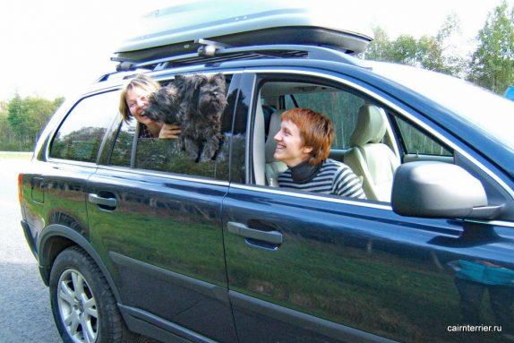 Поездка с керн терьером на автомобиле