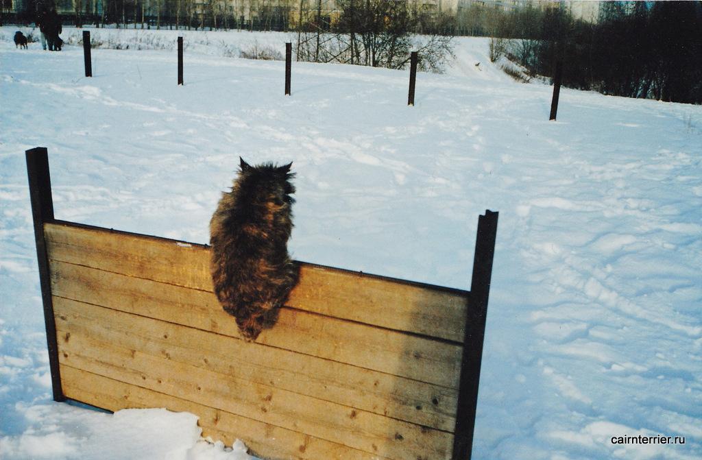 Керн терьер Глаша прыгает через барьер