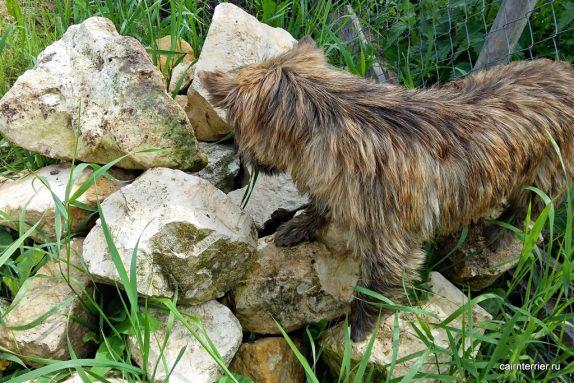 Керн терьер Фишка на камнях. Владелец питомник Еливс.