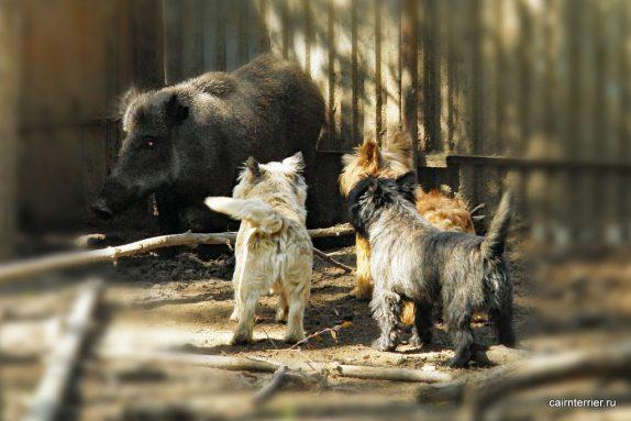 Три кобеля керн терьера из питомника Еливс удерживают кабана и лаем указывают место для охотника.