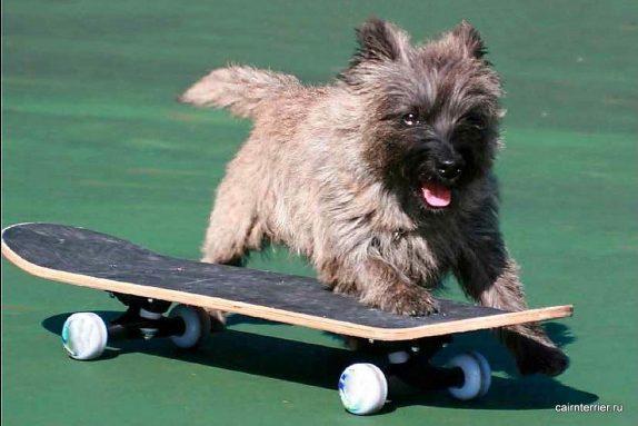 Скейтбординг для керн терьера.