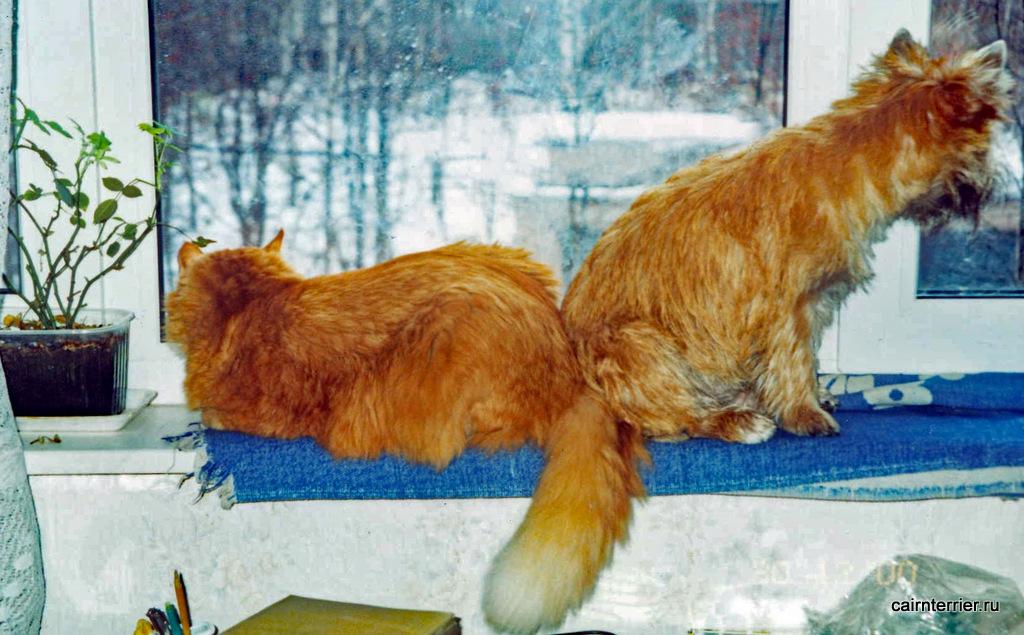 Керн терьер и кот.