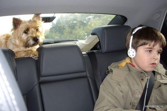 Керн терьер в машине
