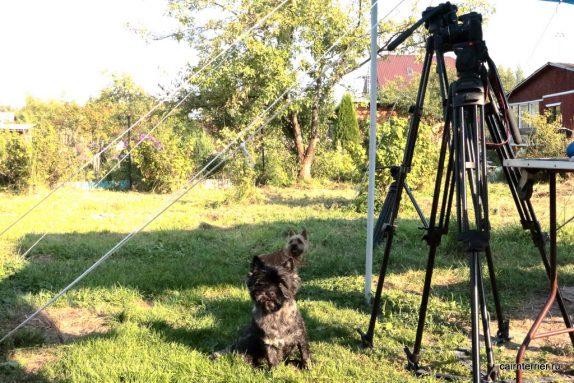 Съёмка видеоролика о породе керн терьер.