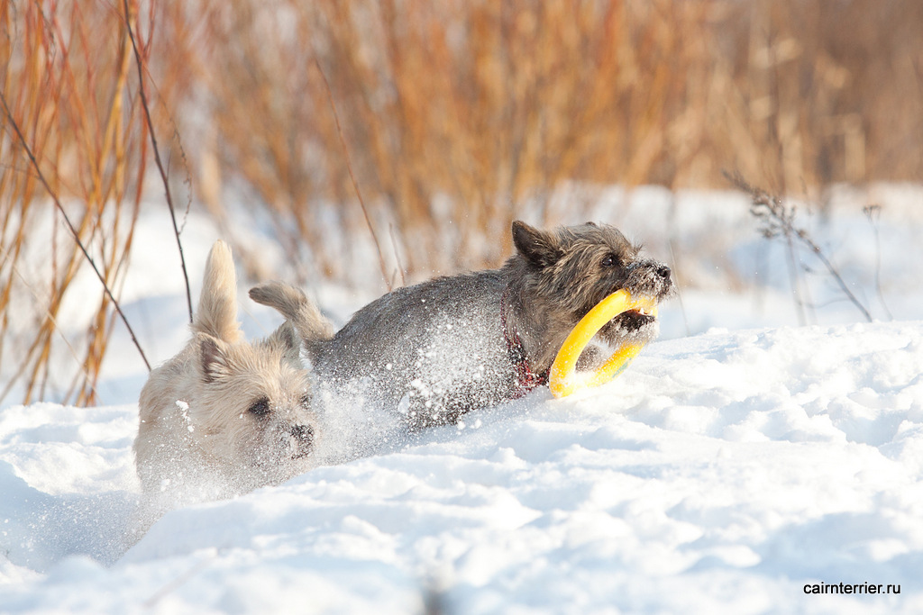Фото керн терьеров питомника Еливс на прогулке зимой играющих с кольцом по команде апорт