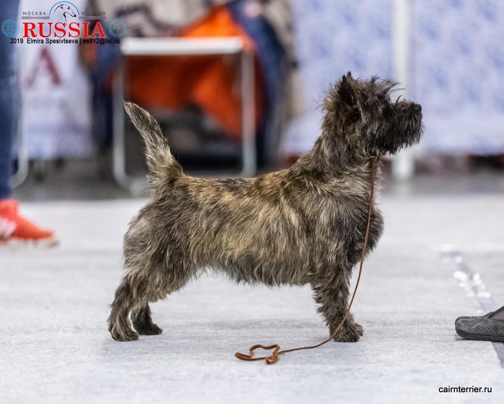 Cairn Terrier LEANDRA IZ DOMA IZ DOMA ELIVS (Rottriver's Dancing On My Own & Pandora Iz Doma Elivs) - Лучший Юниор сука!