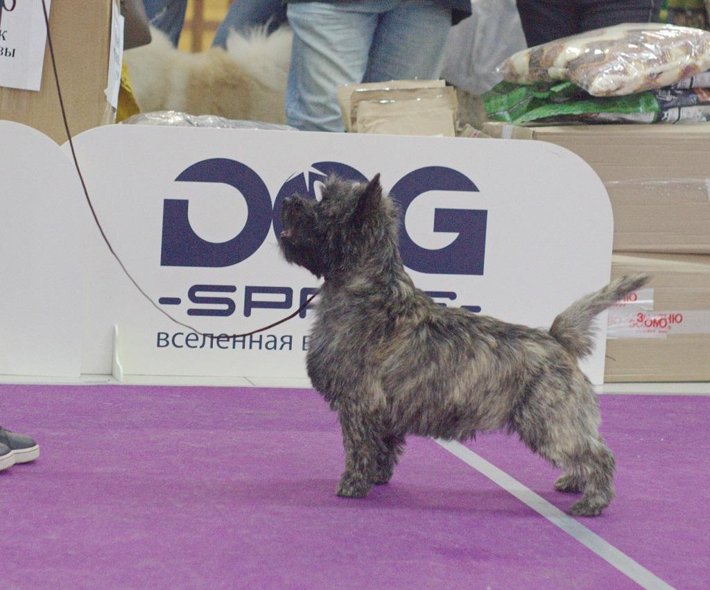 Noctyurne Of My Soul Iz Doma Elivs Best cairn terrier