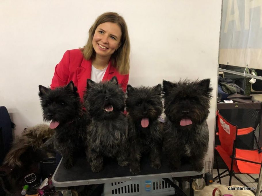 monobreed show cairn terrier 15.11
