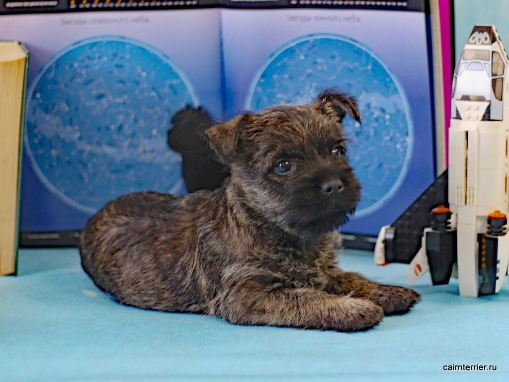 фото щенок керн терьера Tsefey Iz Doma Elivs