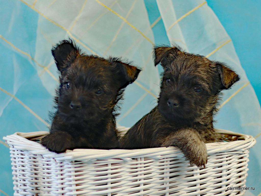 фото щенки керн терьера Tserera & Tsefey