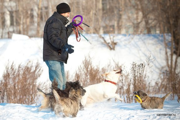 Фото керн терьеров питомника Еливс на зимней прогулке в парке, идущих рядом с хозяином