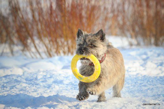 """Фото керн терьера питомника Еливс на прогулке зимой с игрушкой в пасте выполняющего команду """"апорт""""."""