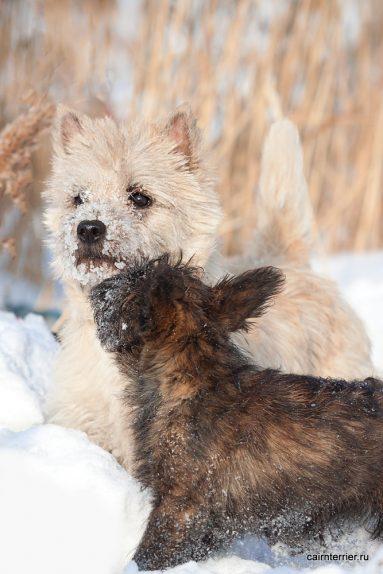 Фото щенка и керн терьера питомника Еливс на прогулке зимой