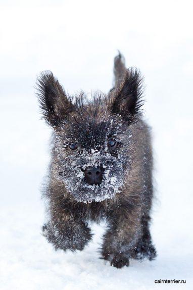Фото тигрового щенка керн терьера питомника на прогулке зимой