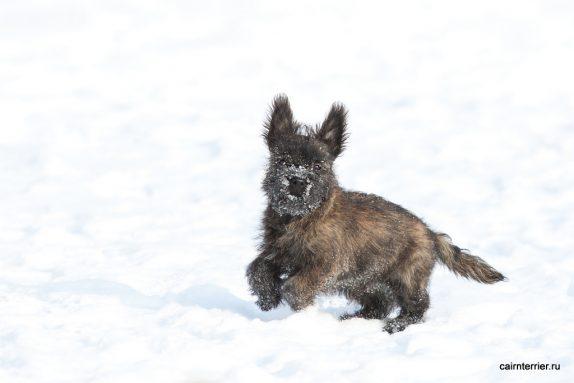 Фото тигрового щенка керн терьера питомника Еливс на прогулке зимой